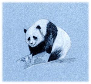 Panda, pierre noire et craie blanche.